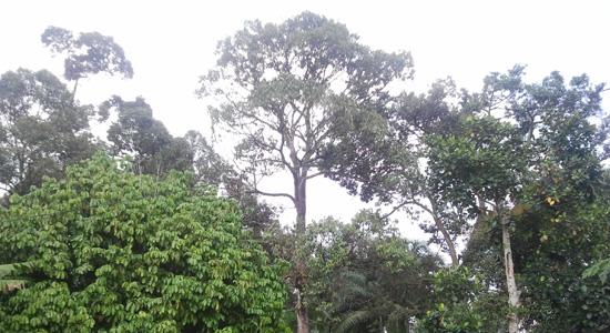 dusun durian