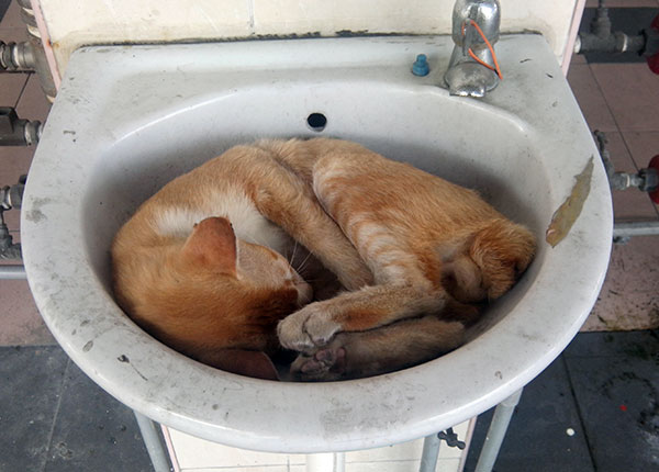 cat sleep in the sink